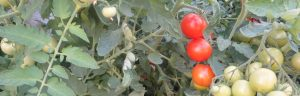 18_08_tomaten